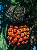 Pomara?cze i ziele? pandanowa owoc na drzewie obraz royalty free