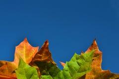 Pomarańcze i zieleni jesieni liście klonowi przeciw niebieskiemu niebu fotografia stock