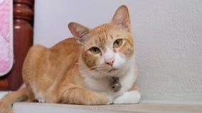 Pomarańcze kota Domowy spojrzenie przy kamerą Obraz Stock