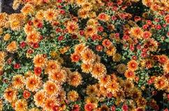 Pomarańcze kwitnie kwitnącą teksturę Jesień kwitnie tło zdjęcie royalty free