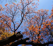 Pomarańcze liście na drzewach Zdjęcia Royalty Free