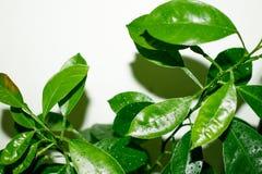 Pomarańcze liście po deszczowego dnia kropli ziele? opuszcza? natury wod? obrazy stock