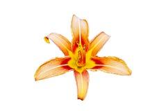 Pomarańcze lilly kwiat odizolowywający Zdjęcia Royalty Free