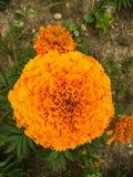 Pomarańcze lub żółty kwiat zdjęcie royalty free