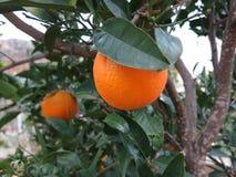 Pomarańcze na drzewie w zimie obrazy stock