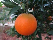 Pomarańcze na drzewie w zimie fotografia royalty free