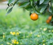 Pomarańcze na gałąź obraz royalty free
