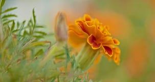 Pomarańcze ogródu kwiat na wiatrowej selekcyjnej ostrości zbiory wideo