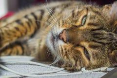 Pomarańcze paskował kota z zielonymi oczami i technologią Zdjęcia Stock