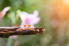Pomarańcze pieczarka lub szampan pieczarka w lesie tropikalnym pod światłem słonecznym, Tajlandia zdjęcia stock