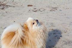 Pomarańcze pies na piaskowatej plaży Obrazy Royalty Free