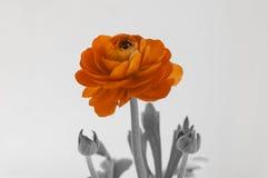 Pomarańcze róża - listu miłosnego horyzontalny tło obraz stock