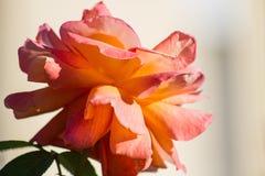 Pomarańcze róża słońce zdjęcie stock