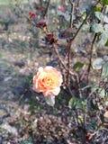 Pomarańcze róża samotna zdjęcia royalty free