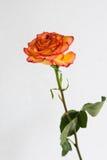 Pomarańcze róża w jasnej wazie Zdjęcia Royalty Free