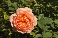 Pomarańcze róża W kwiacie Zdjęcia Royalty Free