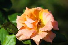Pomarańcze róża w ogródzie z zielonym obfitolistnym tłem Obraz Royalty Free