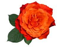 Pomarańcze róża z liśćmi, odosobnionymi na białym tle zdjęcie stock