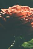 Pomarańcze róża z zielonym liściem Obrazy Stock