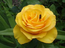 Pomarańcze róży kwiat 'Walencja' z komarnicą Zdjęcie Royalty Free