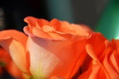 Pomarańcze róży kwiaty w kraju ogródzie Obraz Stock