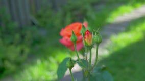 Pomarańcze róży kwiaty zbiory