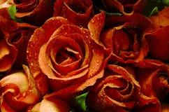 Pomarańcze róży okwitnięcie Obraz Stock