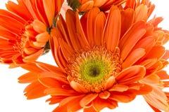 Pomarańcze słoneczniki zdjęcie royalty free