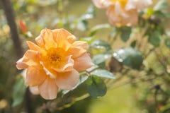 pomarańcze tła rose Fotografia Stock
