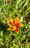 Pomarańcze up i czerwony kwiatu zakończenie Zdjęcia Royalty Free