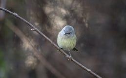 Pomarańcze Warbler koronowany ptak śpiewający, Gruzja usa obrazy royalty free