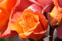 pomarańcze wzrastał Obrazy Royalty Free