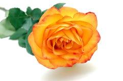 pomarańcze wzrastał Obraz Royalty Free