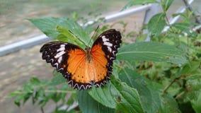 Pomarańcze & x22; dragon& x22; motyl z otwartymi skrzydłami Fotografia Stock