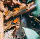 Pomarańczowa żaba na tropikalny las deszczowy podłodze obraz stock