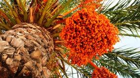 Pomarańczowa daktylowa palma z Daktylowymi owoc obraz stock