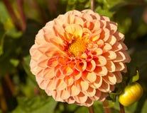 Pomarańczowa dalia Zdjęcie Stock