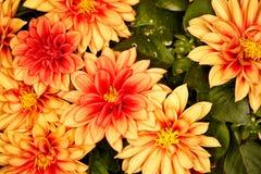 Pomarańczowa dalia Fotografia Stock