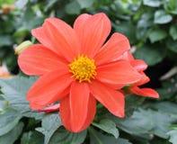 Pomarańczowa dalia z Żółtym środkiem Obrazy Stock