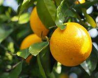 Pomarańczowa Drzewna owoc zdjęcie stock