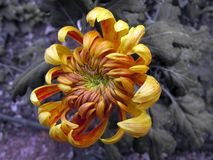 Pomarańczowa dusza chryzantema fotografia royalty free