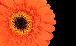Pomarańczowa Gerbera kwiatu część Odizolowywająca na czerni Obraz Stock