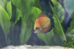 Pomarańczowa Gołębia Krwionośna dysk ryba Zdjęcie Stock