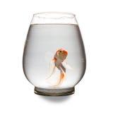 Pomarańczowa i biała Koi karpiowa patrzeje kamera z usta otwierał w szklanym zbiorniku Zdjęcia Royalty Free