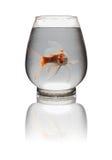 Pomarańczowa i biała Koi karpiowa patrzeje kamera z usta otwierał w szklanym zbiorniku z ścinek ścieżką Zdjęcia Royalty Free