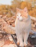 Pomarańczowa i biała tomcat pozycja na górze drewnianego stosu zdjęcia stock