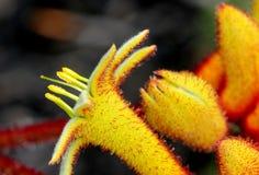 Pomarańczowa kangur łapa, Anigozanthos & x27; Krajobrazowy Orange& x27; fotografia stock