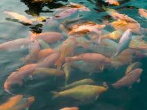Pomarańczowa Koi ryba w Azjatyckim stawie obrazy stock