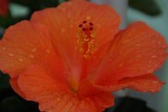 Pomarańczowa kropli woda i kwiat zdjęcia stock
