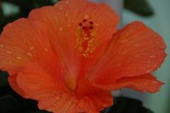 Pomarańczowa kropli woda i kwiat zdjęcie royalty free